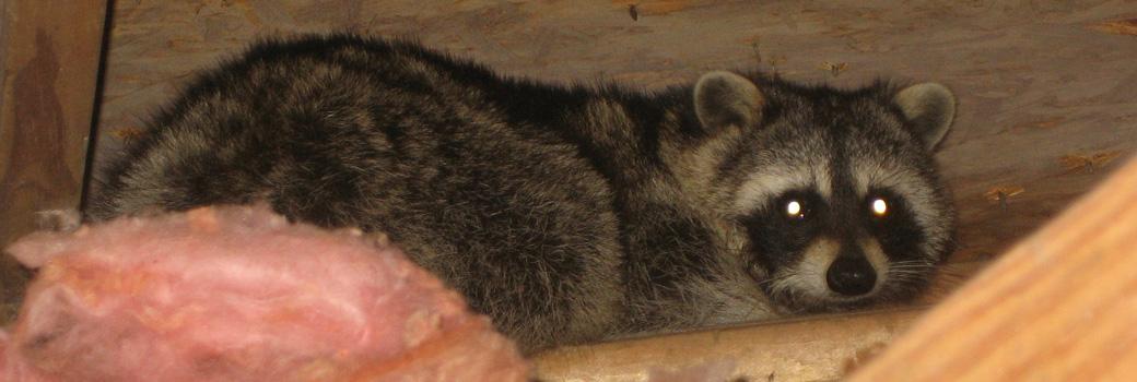 Atlanta Raccoon Removal - How to kill a Raccoon